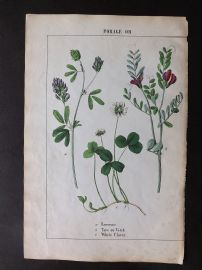 Yonge 1863 Hand Col Botanical Print. Lucerne, Tare or Vetch, White Clover